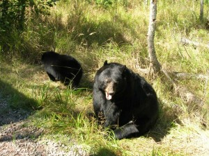 Ours noir zoo sauvage de saint  Félicien