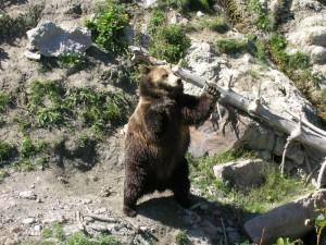 Un ours noir Québec